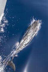 ein Drlphin begleitet eine Yacht