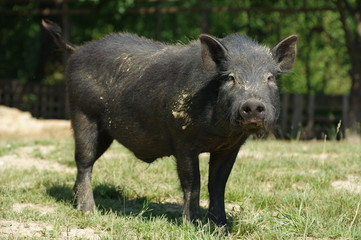 pig little black 4