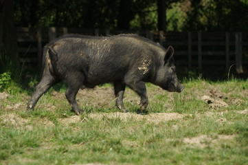 pig little black 8