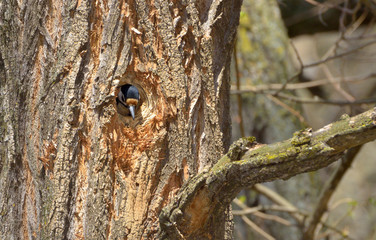 Great Spotted Woodpecker at nest-hole site
