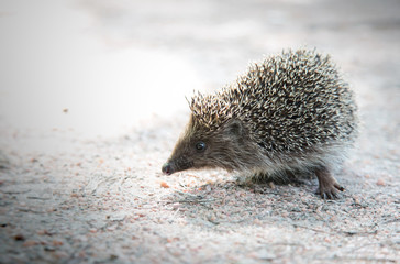 Closeup of hedgehog