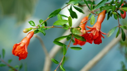 flowers  blooming  pomegranate  Close to