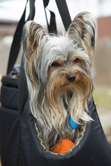 Yorkshire terrier in portable bag