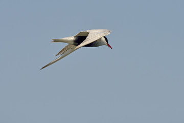 Common tern (sterna hirundo) in natural habitat