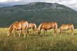 Cavalli ai piedi del Monte Vettore