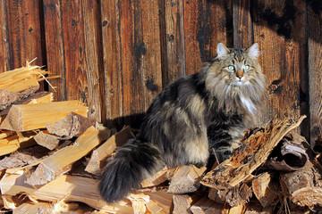 Norweger Waldkatze auf Brennholz