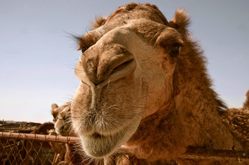 Camel in the Animals market Doha