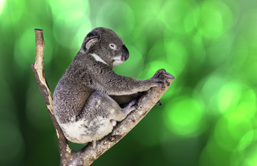 Cute Koala on green background