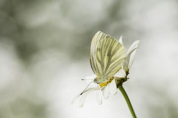 Green-veined White, Pieris napi resting on oxeeye daisy