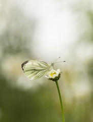 Green-veined White, Pieris napi resting on oxeeye daisy