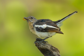 Beautiful position of young Oriental Magpie Robin with worm