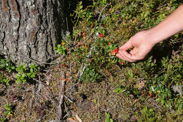 Collecting cranberries in forest