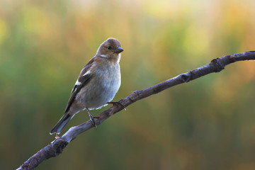 Common Chaffinch (female)
