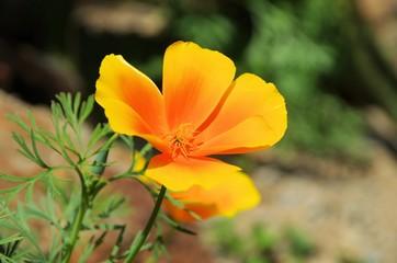 Kalifornischer Mohn - California poppy 34