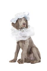 Portrait of Longhaired Weimaraner puppy