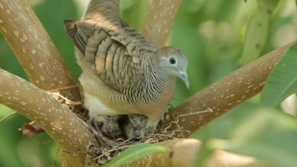 Dove sits on nest