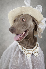 Portrait of Weimaraner dog