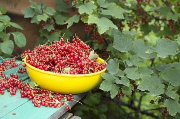 Red currant in the yellow bowl