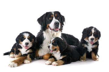 puppies and adult bernese moutain dog