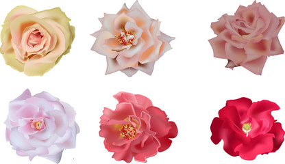six rose blooms isolated on white background