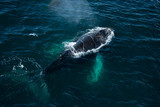Top view of Humpback whale, Antarctica