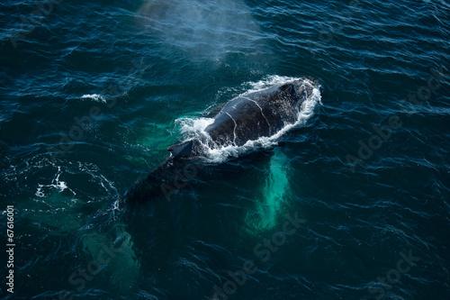 Poster Antarctica Top view of Humpback whale, Antarctica