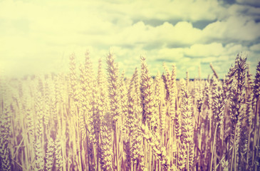 Vintage wheat field background.