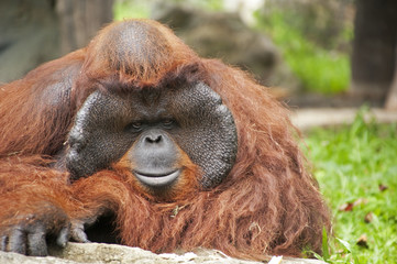 Orangutan in the zoo