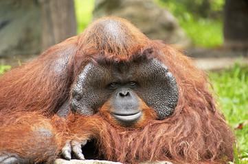 Profile of an orangutan