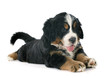 canvas print picture - puppy bernese moutain dog