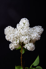 White lilac on a black background