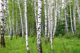 Beautiful birch of summer forest