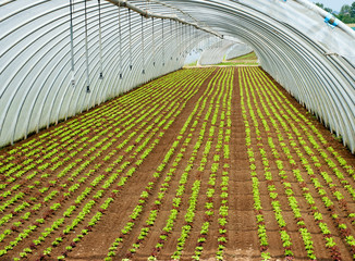 Crop of seedlings being cultivated in a tunnel