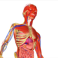 Muscles with skeleton and digestive system