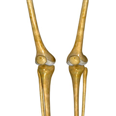 Skeleton knee joint