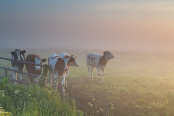 cattle on misty pasture
