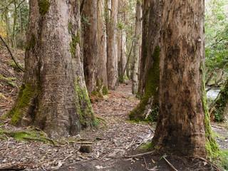 Eucalyptus forest in Souto da Retorta, Galicia, Spain.