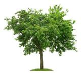 Fototapety Alter Birnbaum mit vielen Früchten vor weißem Hintergrund