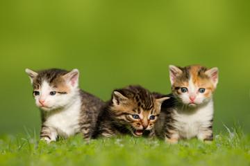 Drei kleine Katzen / Kätzchen sitzen auf Wiese