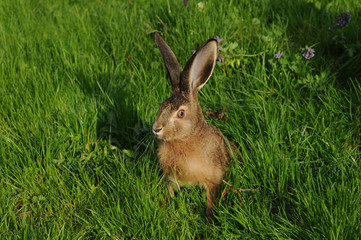 European hare (Lepus europaeus) in the meadow