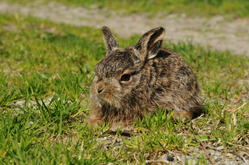Little european hare in the meadow