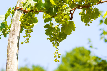Young grape clusters in summer