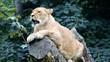 Löwin auf Baumstamm (Lion on a tree)