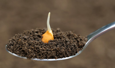 Chick-pea seedling on spoon