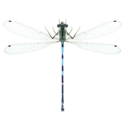 Dragonfly Enallagma cyathigerum (male)