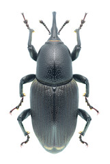 Beetle Sphenophorus abbreviatus