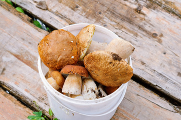 Mushrooms cepes in bucket