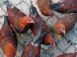 Hühner am Zaun