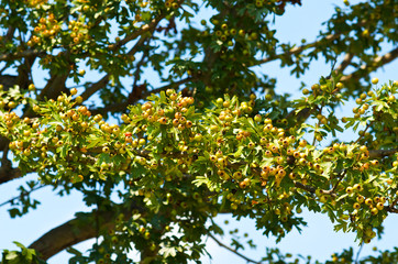 Branch with berries in spring
