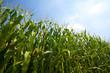 Leinwanddruck Bild - Green corn field growing up